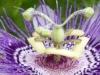 2015-0907-passionflower-good-1000x288.jpg