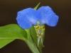 2015-0908-blue-dayflower-1000x288.jpg