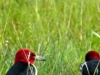 cropped-2016-0606-red-headed-woodpeckers-header-1000x288.jpg