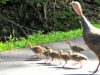 cropped-2016-0616-turkey-poults-header-1000x288.jpg