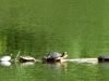 cropped-2016-0812-turtle-log-header-1000x288.jpg