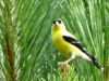 cropped-2016-0814-goldfinch-header-1000x288.jpg