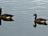 cropped-2016-0819-3-geese-header-1000x288.jpg