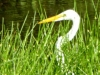 cropped-2016-0822-great-egret-header-1000x288.jpg