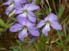 2018 0422 birdfoot violet macro use.JPG
