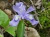 2018 0422 dwarf crested iris use.jpg