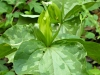 2018 0422 green toadshade trillium use.jpg