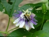 2018 0812 bee on passionflower.JPG