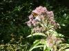 2018 0815 joe pye weed butterfly c.jpg