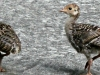 2018 0604 wild turkey poults header.jpg