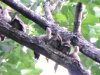P1580162 2018 0604 poults alone in tree header.jpg