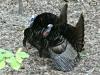 2020 0428 two male turkeys.jpg