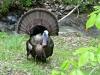 P1190349 2020 0428 smaller male turkey fan .jpg