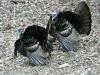 P1190403 2020 0428 two male turkeys.jpg