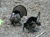 P1190507 2020 0428 two male turkeys.jpg