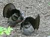 P1190604 2020 0428 two male turkeys.jpg