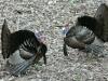 P1190641 2020 0428 two male turkeys facing off.jpg