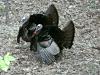 P1190702 2020 0428 two male turkeys .jpg