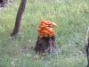 P1010038 2014 1009 orange fungus.JPG