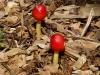 P1090007 2012 0727 maracas mushrooms.JPG