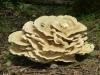 P1120954 2015 0723 big fungus.JPG