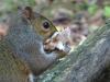 P1480791 2013 0702 squirrel eating fungus great closeup.JPG
