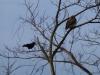 p1140334-2013-1201-crow-hawk