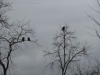 p1140335-2013-1201-three-turkey-buzzards