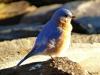 2014-0112-bluebird-closeup