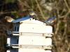 2014-0112-three-bluebirds-martin-house