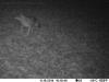 2014-1118-coyote-3