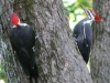 2009-1004-pileated-woodpeckers-header