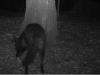 2011-0904-black-coyote-header