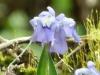 2012-0331-dwarf-crested-iris-header