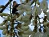 2012-0407-bee-locust-tree-header