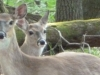 2012-0425-deer-survivors-header