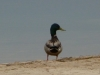 2012-0503-duck-1-header