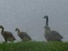2012-0529-canada-geese-header