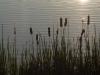 2012-0606-cattails-header
