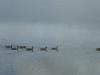 2012-0612-canada-geese-header