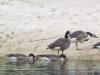 2012-0715-canada-geese-header