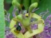 2012-0721-passionflower-header