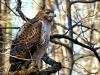 2014-0112-hawk-on-second-tree