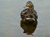 2013-0627-duck-looking