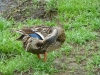 2013-0627-duck-bath-29