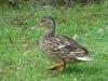 2013-0627-duck-bath-31
