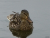 2013-0627-duck-bath-44