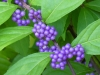 2019 0831 beautyberry bush.JPG