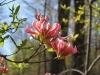 2011-0406-native-azalea