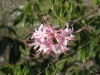 2011-0407-native-azalea-pink